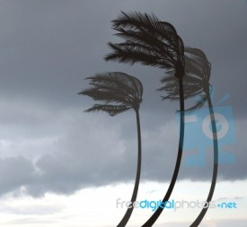 palms-in-the-storm-100156365