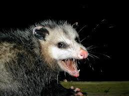 images possum